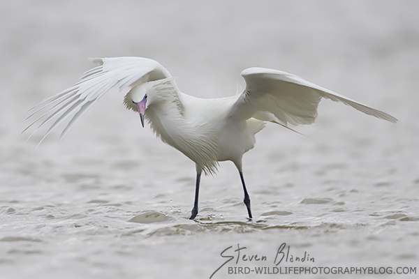 White morph Reddish Egret hunting - Fort Desoto, Florida