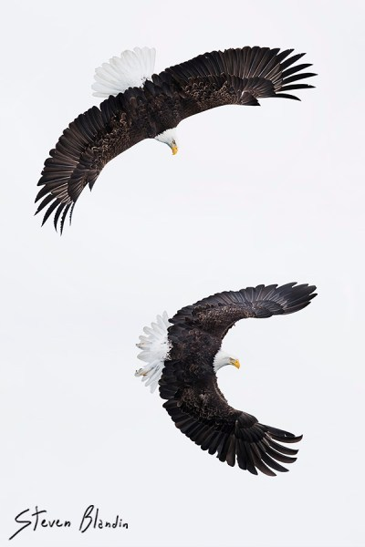 Alaska Bald Eagles in flight - Photography Tour
