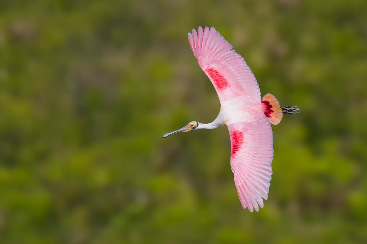 Roseate Spoonbill banking in flight - Photo Workshop