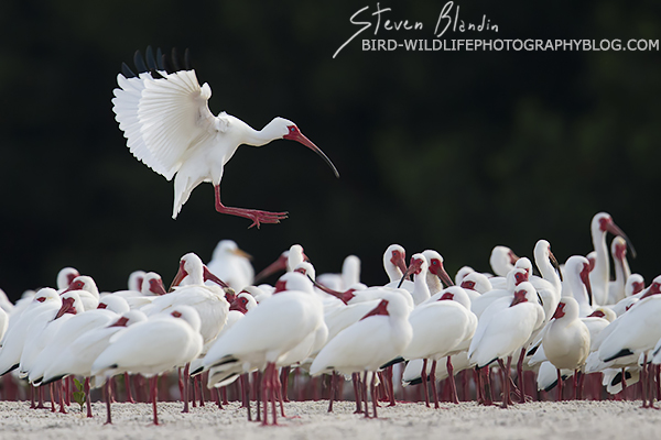 White Ibis landing - Florida Spoonbill Tour