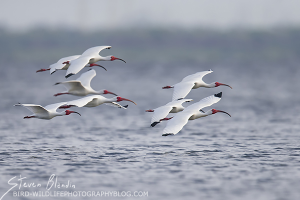 White Ibises in flight - Spoonbill rookery
