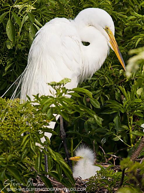 Great White Egret - Preserve access to Florida bird rookeries