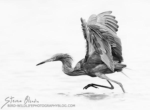 Reddish Egret - Black and White fine art bird photography