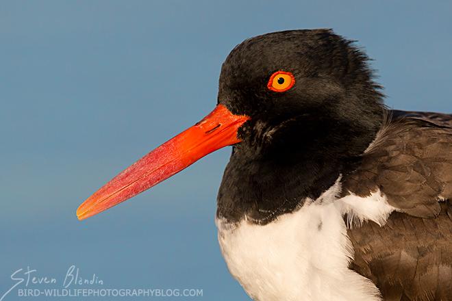 American Oystercatcher - Headshot Bird Photography