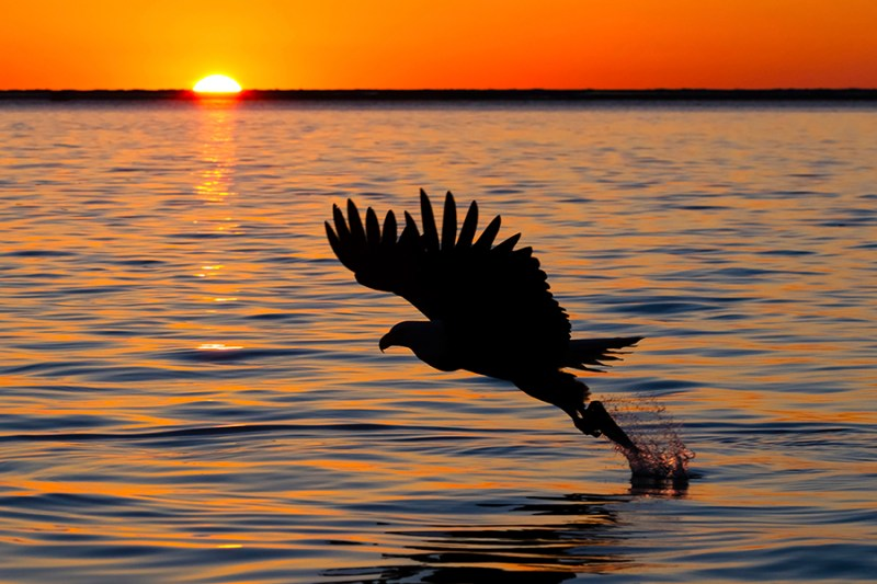 Alaska Bald Eagle silhouette