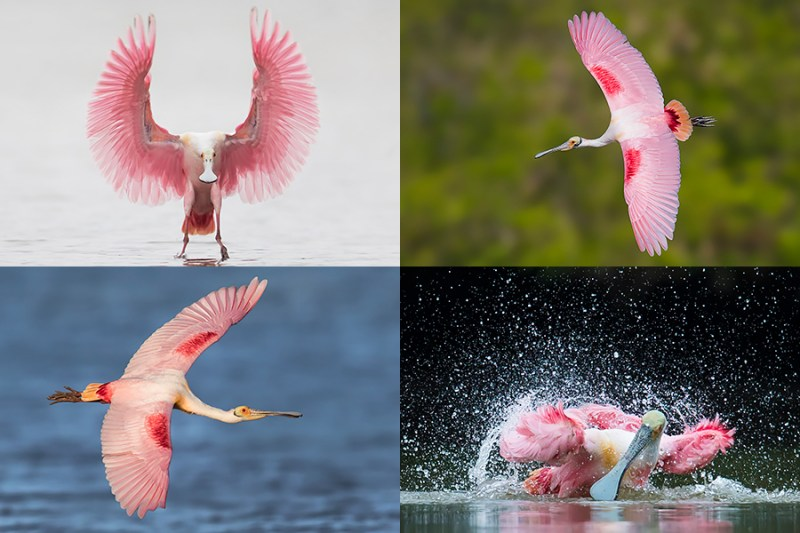 Florida Spoonbill Photography Tour