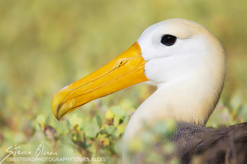 Waved Albatross portrait - Espanola Island, Galapagos Islands.