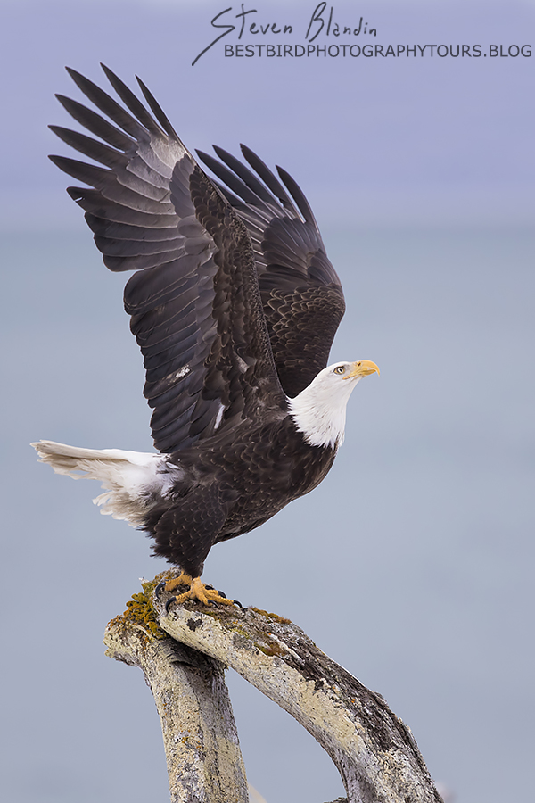 Bald Eagle taking off - Alaska Photography Workshop