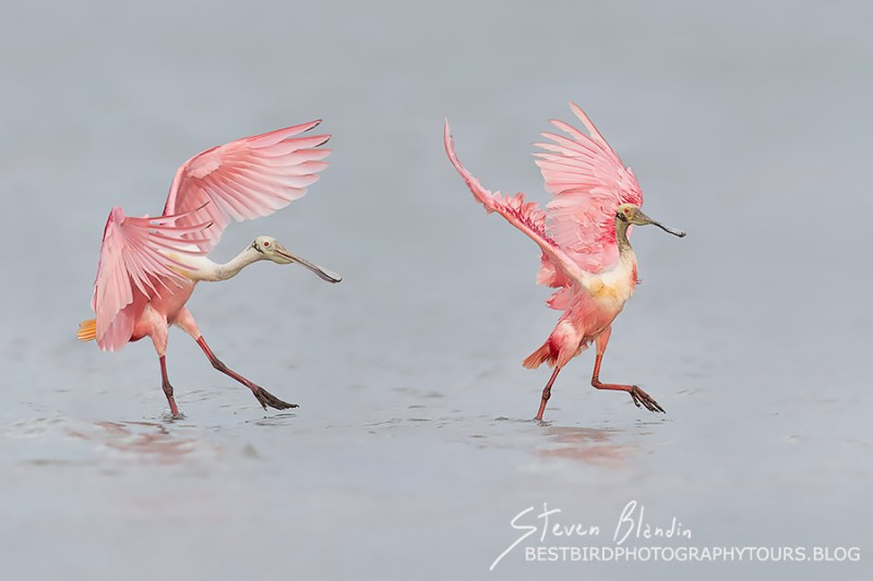 Florida Spoonbill Workshop