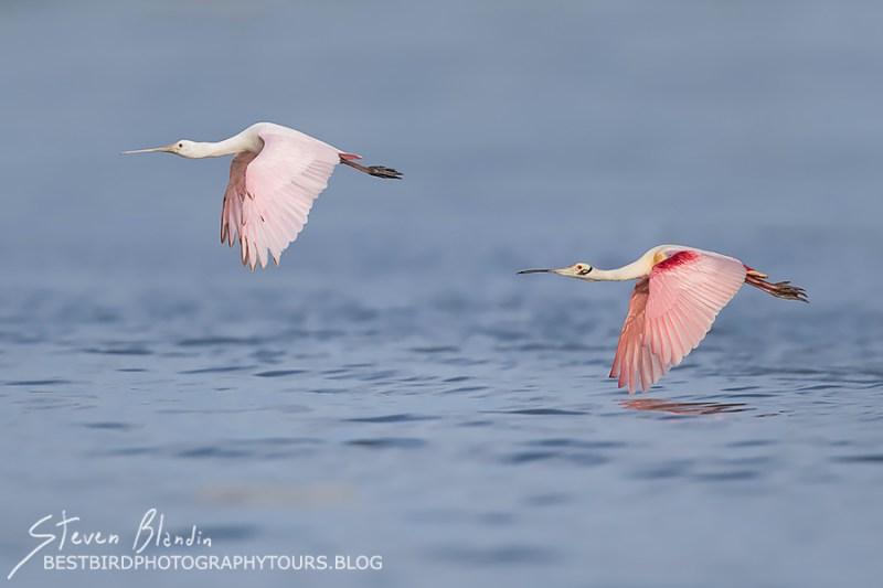 Florida Spoonbills in flight - Photography Tour