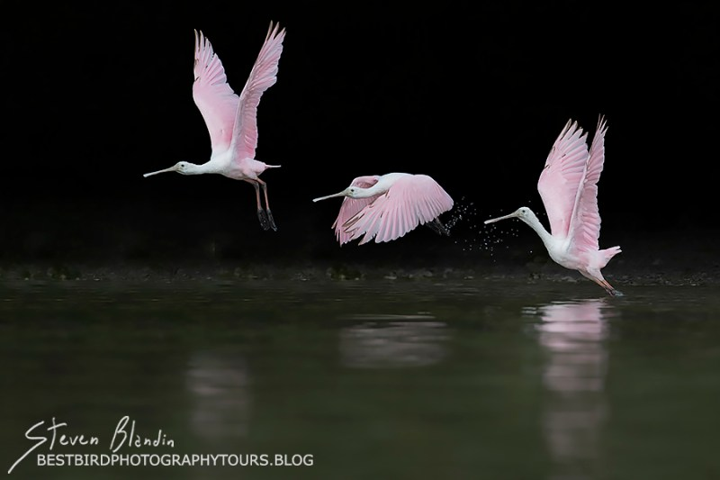 Spoonbill Taking Off - Photography Workshop