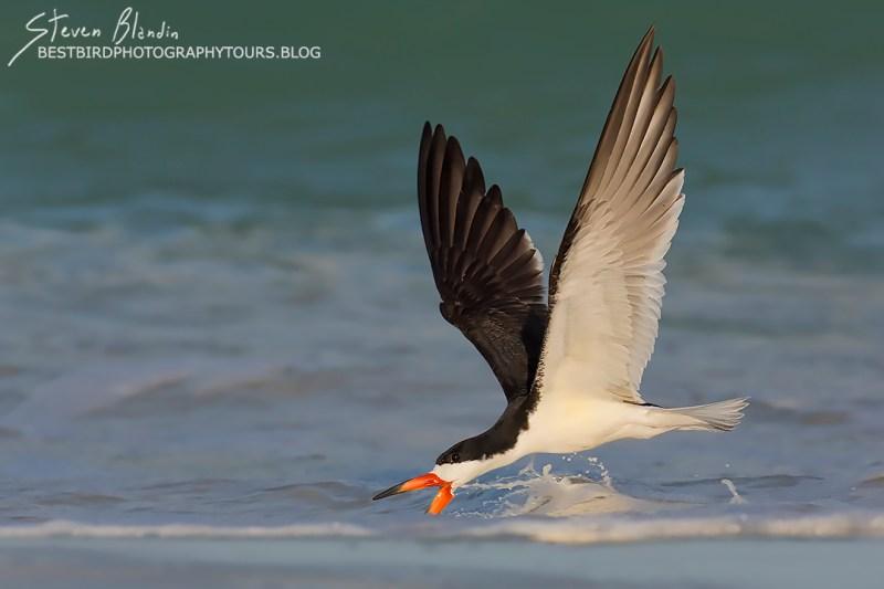 Black Skimmer - Indian Shores, Florida