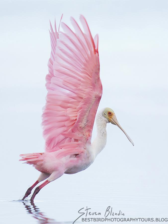 Roseate Spoonbill taking off - Sarasota Bay, Florida
