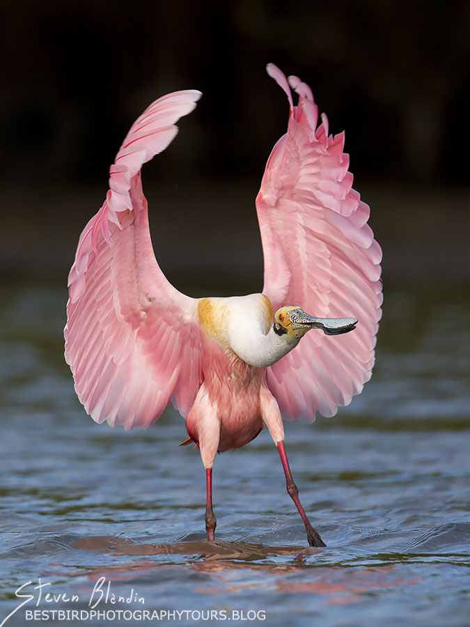 Roseate Spoonbill landing - Florida Photography Tour