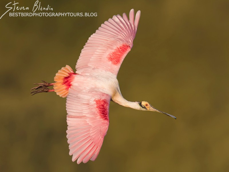 Roseate Spoonbill banking in flight - Florida Photography Tour