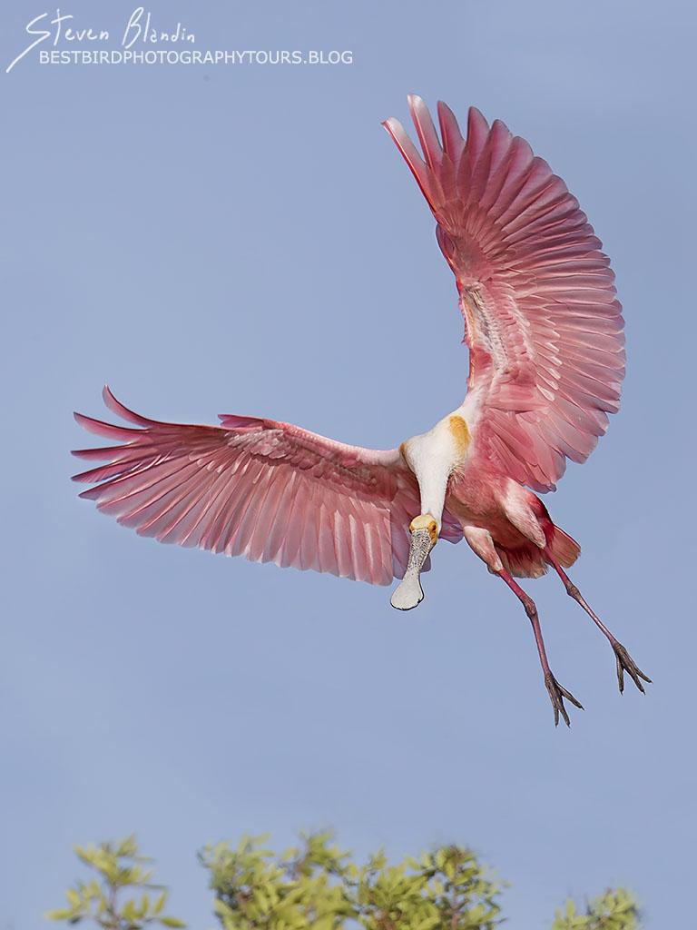 Florida Spoonbill landing - Fine Art