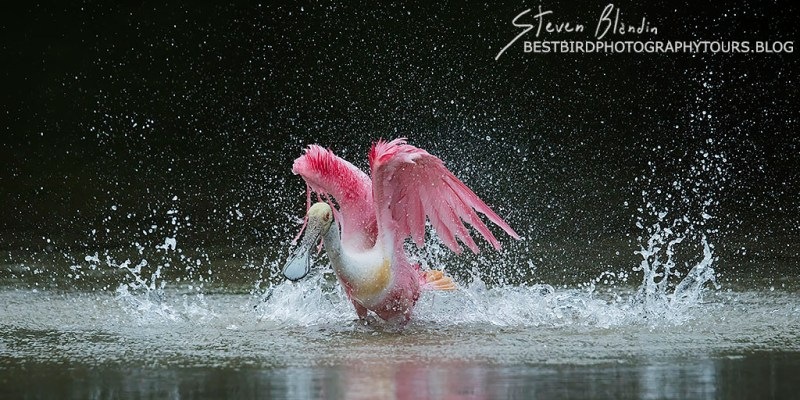 Roseate Spoonbill bathing - fine art