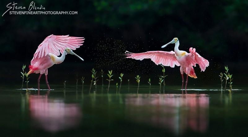 Fine Art Bird Photography_Florida Spoonbills