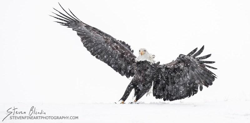 Fine Art Bird Photography_Alaska Bald Eagle