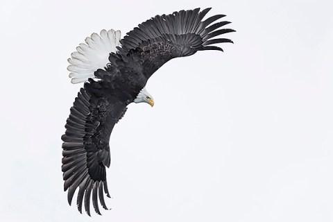 Alaska Bald Eagle Photography Tour - Fierce Banking