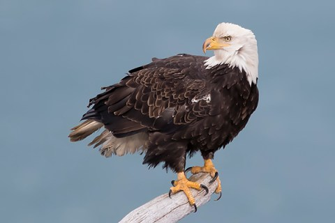 Alaska Bald Eagle Photography Tour - On A Perch
