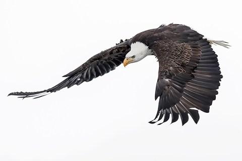 Alaska Bald Eagle Photography Tour - Swooping Down