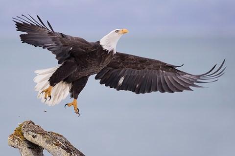 Alaska Bald Eagle Photography Tour - Taking Off