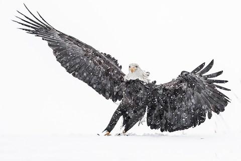 Alaska Bald Eagle Photography Tour - Tilted Landing