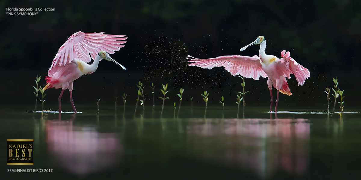 Pink Symphony - Florida Spoonbill Tours