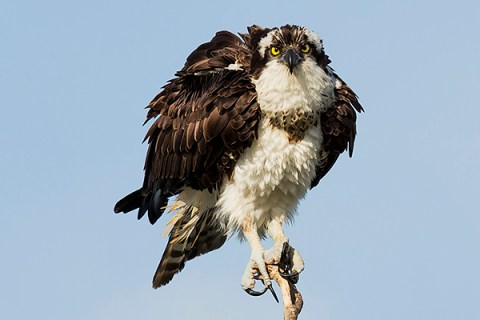Florida Osprey Tour - Fluffing