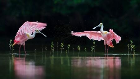 Florida Spoonbill Tour - Pink Symphony