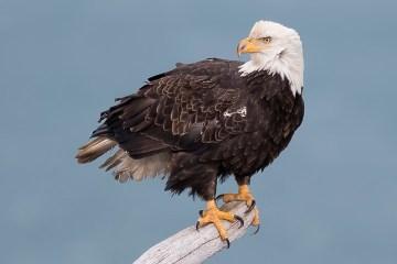 Bald Eagle Tour_Perched