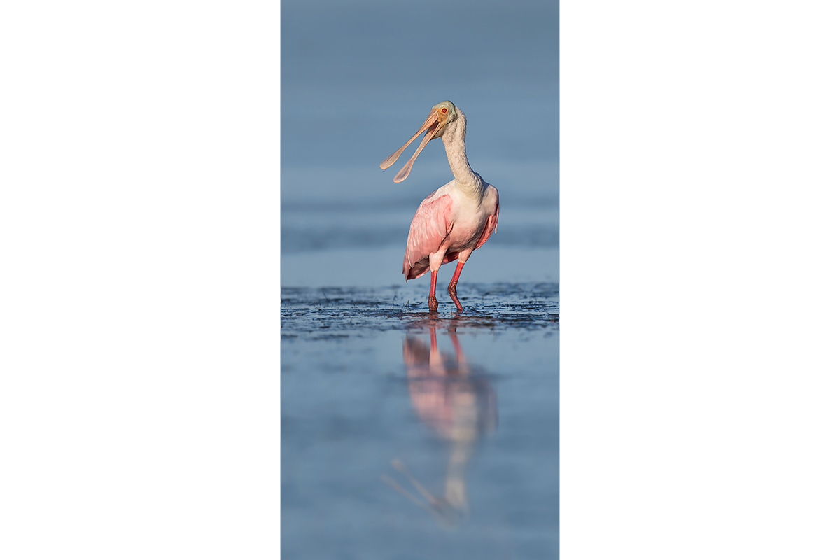 Fine Art_Florida Spoonbills_Bird's Talk