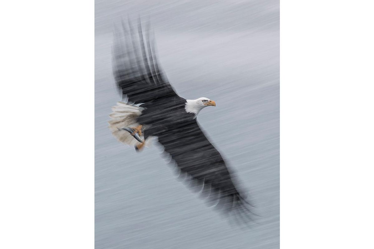 Alaska Bald Eagles_Fine Art_Snow Storm Fishing