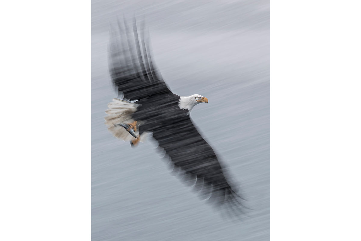 Alaska Bald Eagles_Fine Art_Snow Storm Fishing