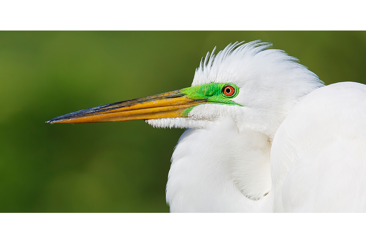 Fine Art Florida Birds_Green Gaze