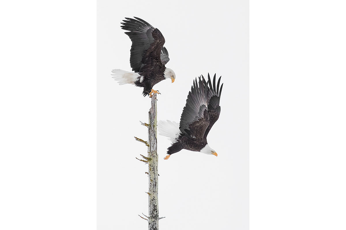 Alaska Bald Eagles_Fine Art_Down From The Perch