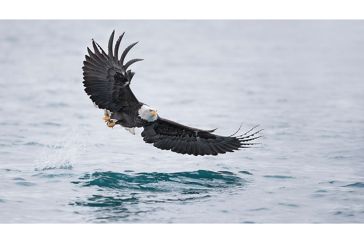 Alaska Bald Eagles_Fine Art_Got You!