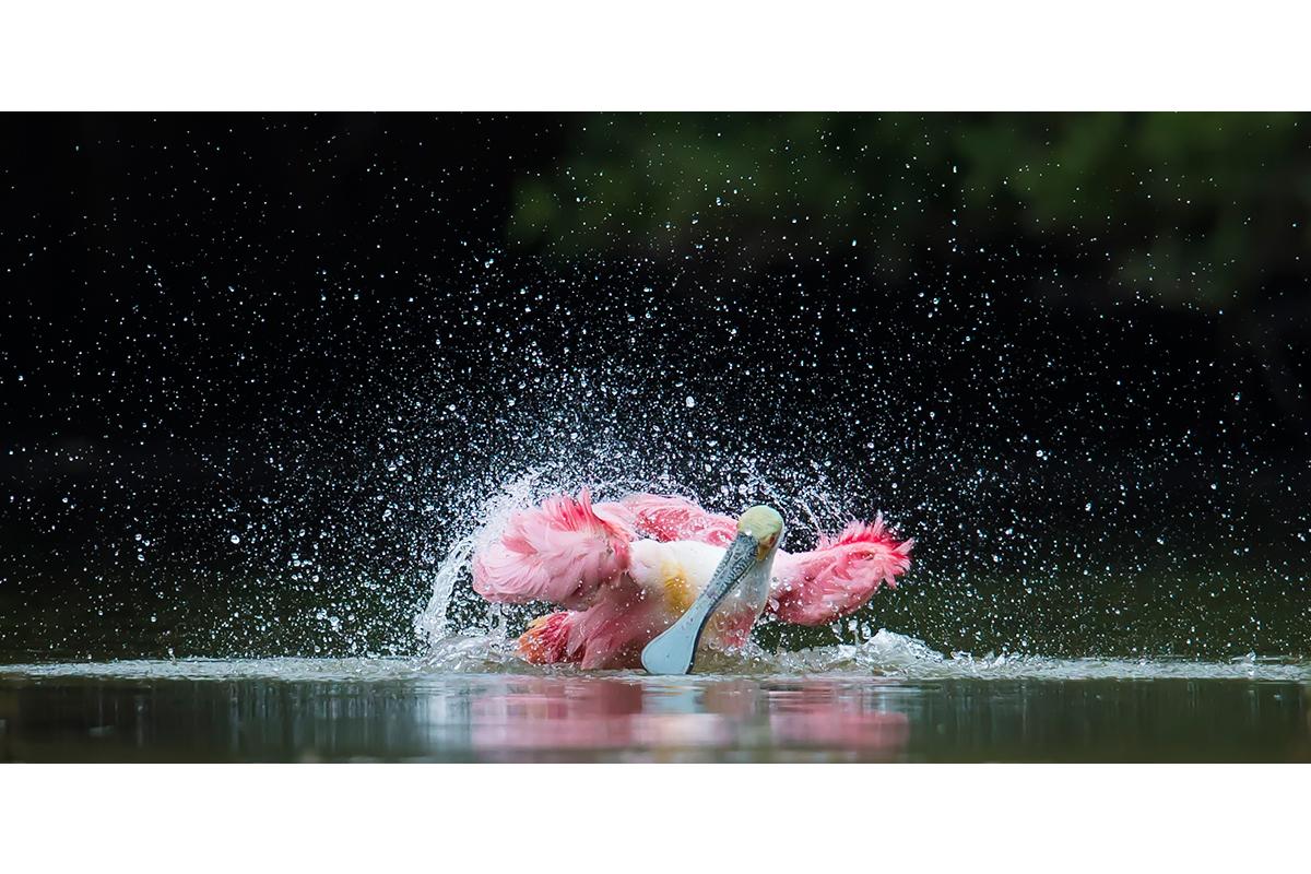 Fine Art_Florida Spoonbills_Bathing Fury