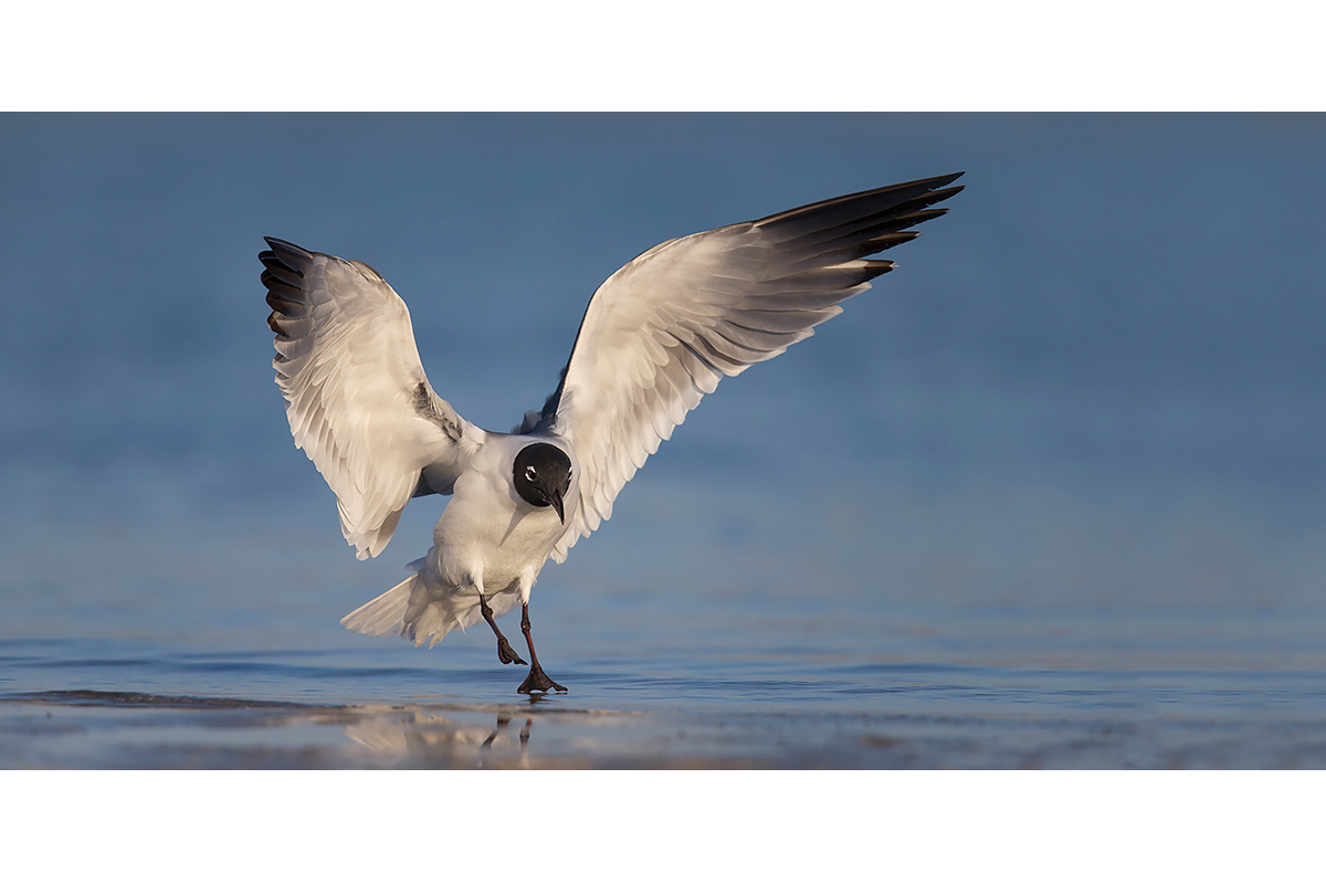 Fine Art Florida Birds_Gull Incoming
