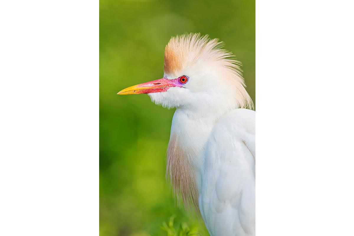 Fine Art Florida Birds_Mega Breeding Colors