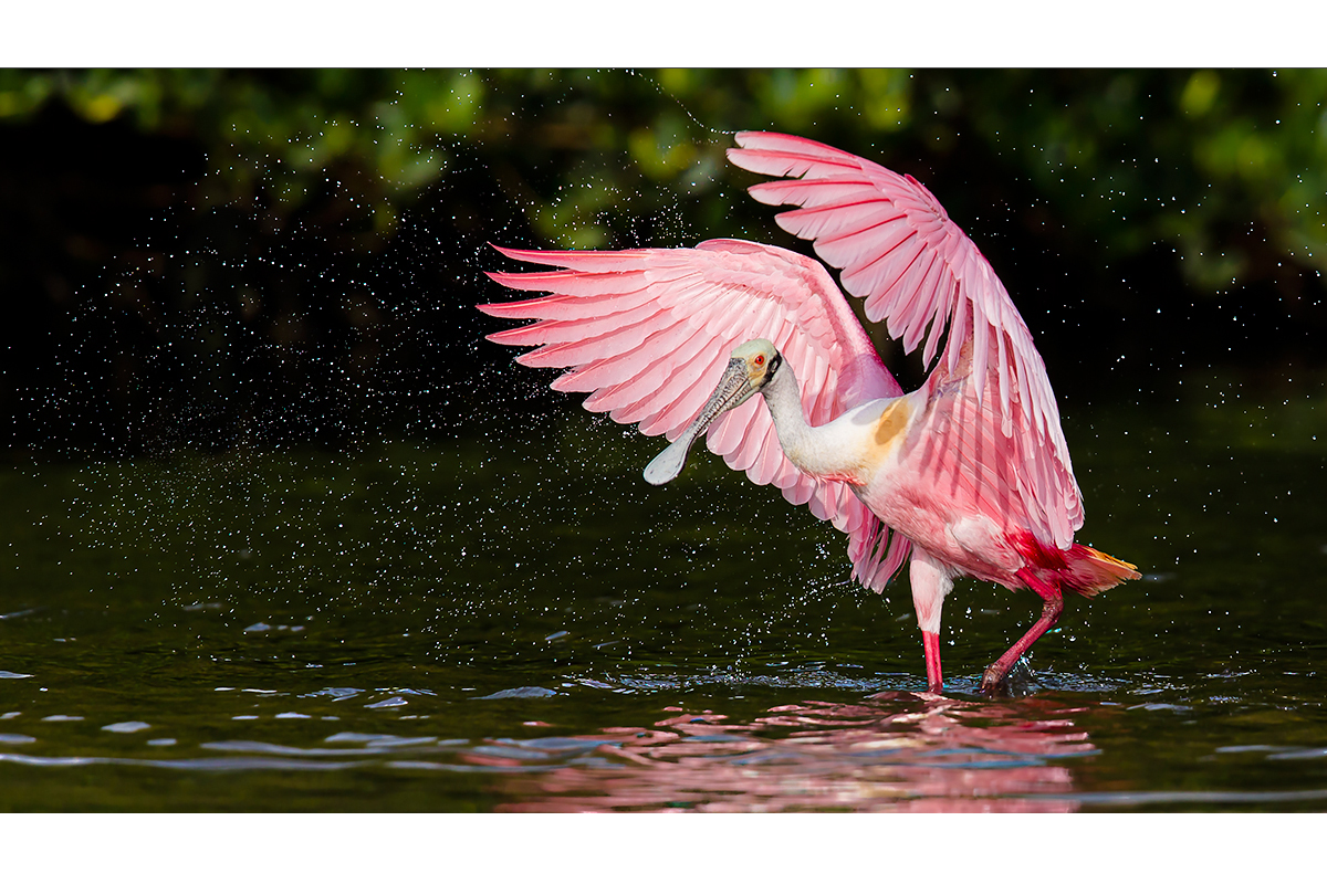 Fine Art_Florida Spoonbills_Flapping Water Drops Away