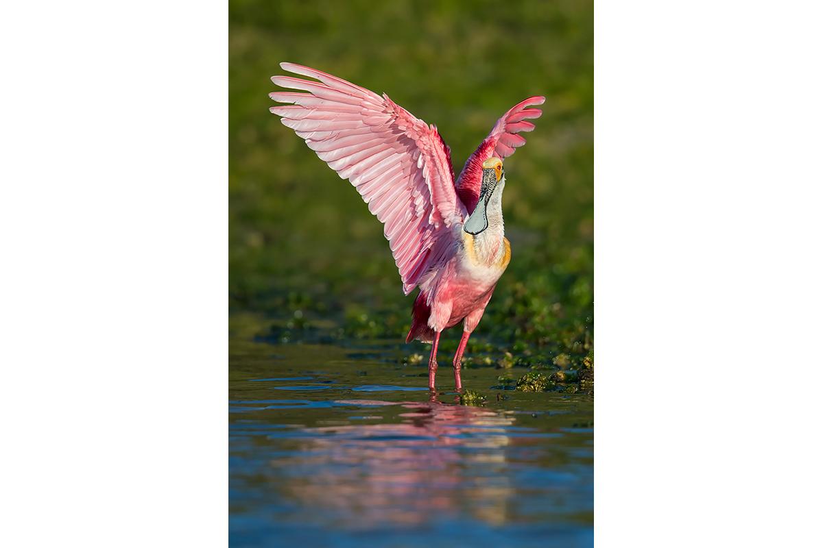 Fine Art_Florida Spoonbills_Tricolor Harmony