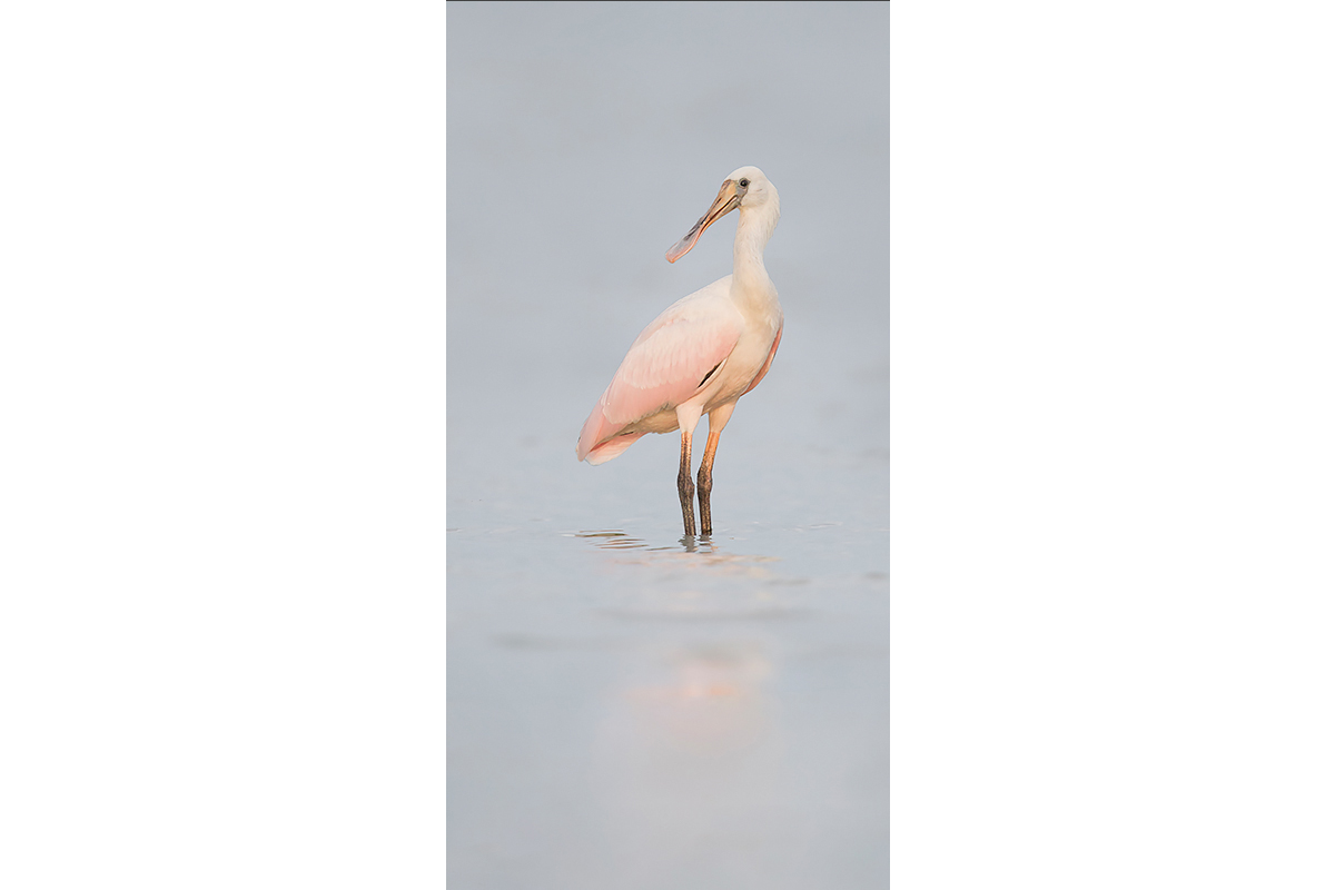 Fine Art_Florida Spoonbills_Youth Looking Back