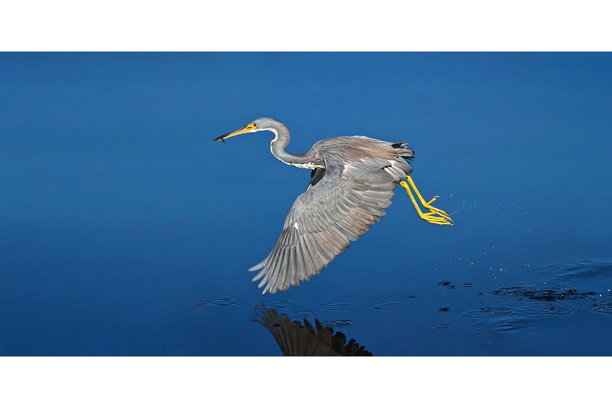Fine Art Florida Birds_Snatched