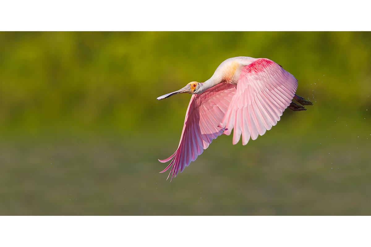 Fine Art_Florida Spoonbills_Flying By