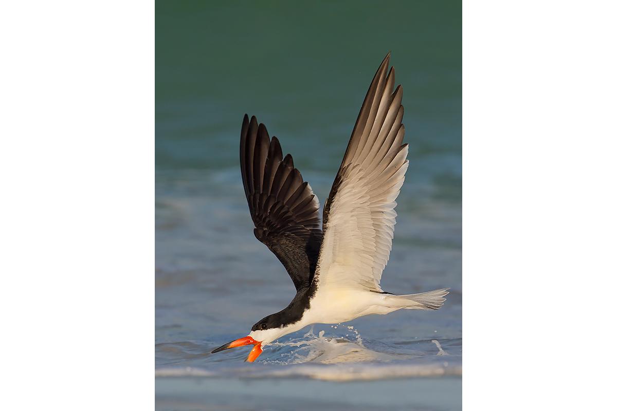 Fine Art Florida Birds_Skimmer Skimming