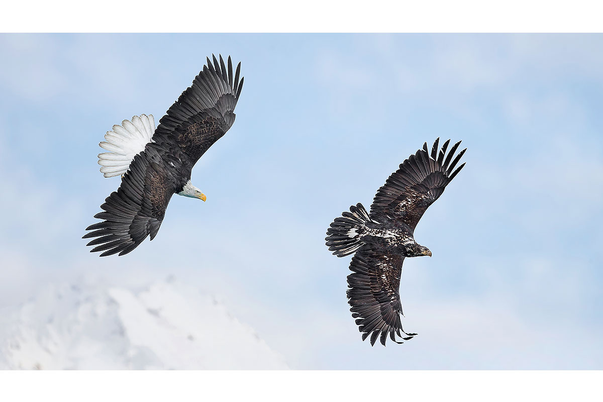 Alaska Bald Eagles_Fine Art_Pursuit In The Sky
