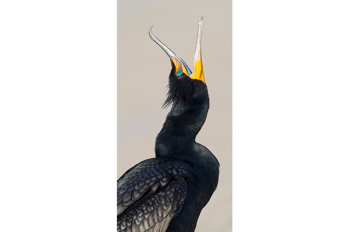 Fine Art Florida Birds_Cormorant Squawk