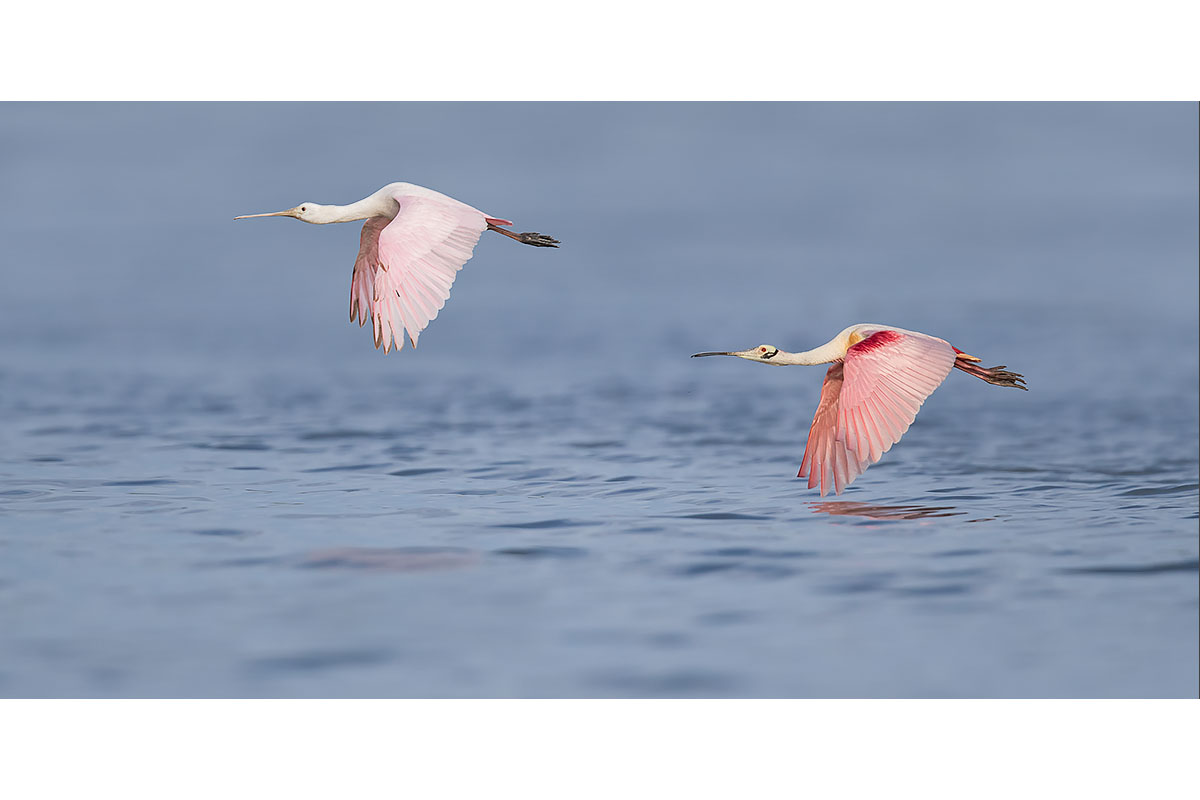 Fine Art_Florida Spoonbills_Young And Adult In Flight